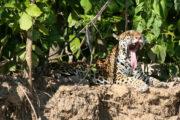 jaguar manu